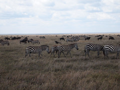 Of Wildebeest and Zebra